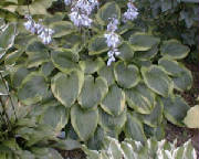 hosta-abiquamoonbeam-nothl.jpg