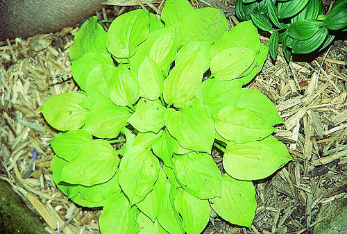 hosta-cheatinheart.jpg