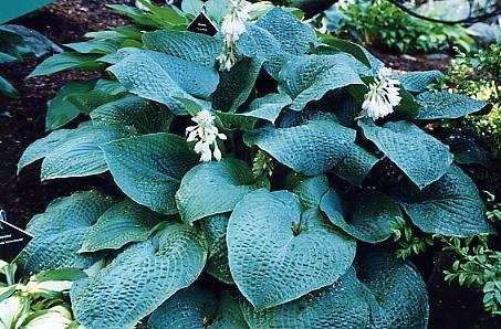 hosta-trueblue.jpeg